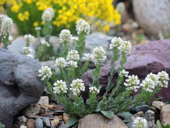 Виды ярутки: Ярутка альпийская