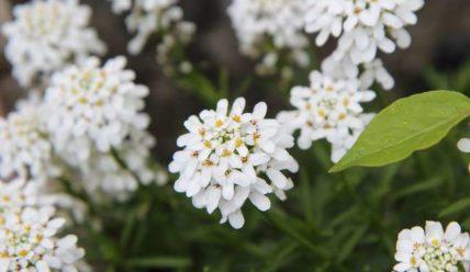 Ярутка: 10 сортов для посадки в цветнике