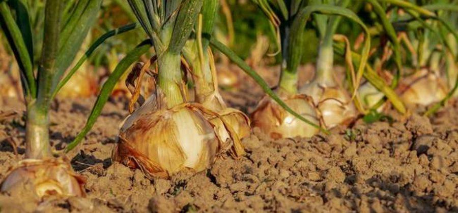 Как правильно вырастить репчатый лук из севка – Личный опыт