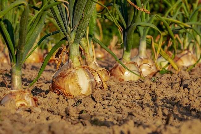 Урожайность лука на репку