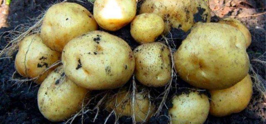 Картофель Импала: характеристика сорта, отзывы, фото