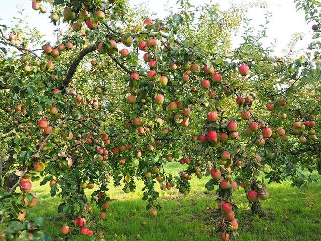 Чем удобрять яблоню весной, летом и осенью