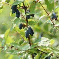 Выращивание жимолости садовой