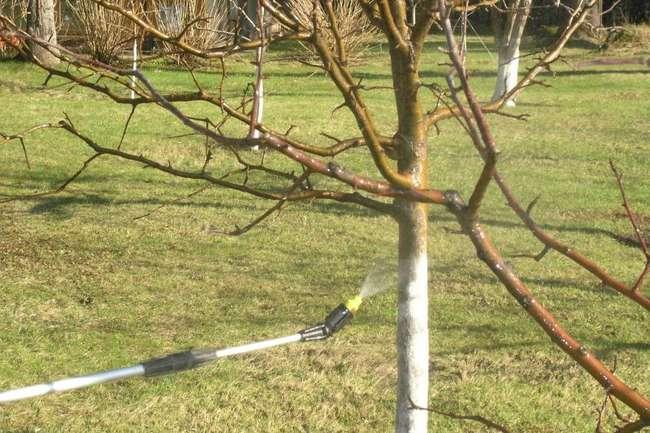 Побелка ствола чудо-вишни осенью