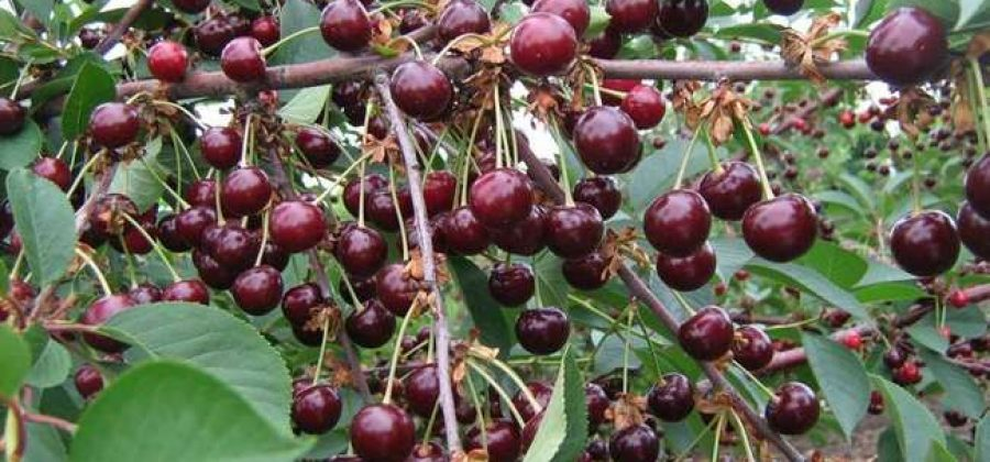 Дюк – Чудо вишня: описание сорта, особенности посадки и ухода
