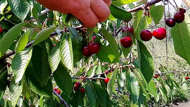 Урожайность Чудо-вишни