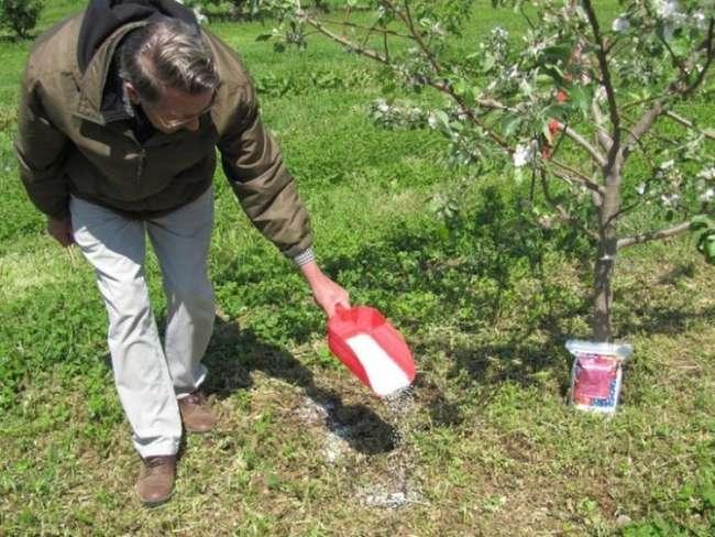 Чем удобрять яблоню при корневой подкормке