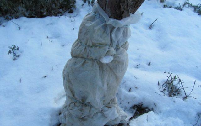 Защита ствола вишни зимой