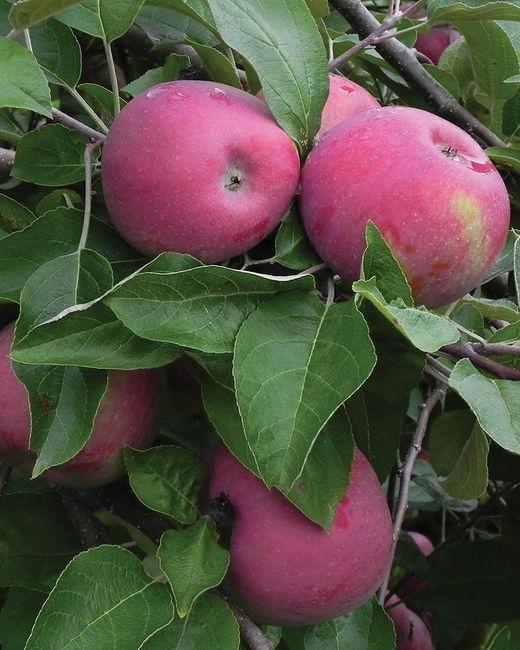 Сорт яблок Анис пурпурный