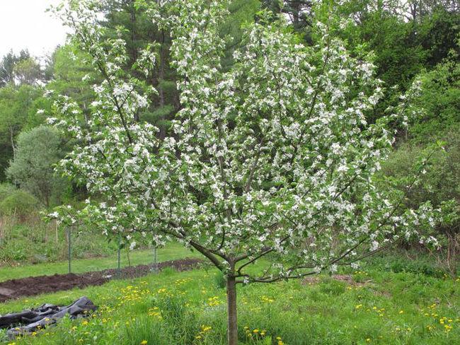 Цветение яблони сорта медуница