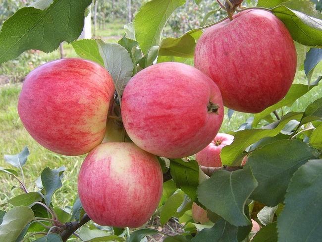 Характеристика плодов яблони медуница