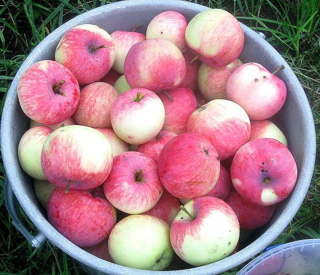 Мельба – сорт яблок: Хранение урожая