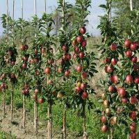 Как ухаживать за колоновидной яблоней