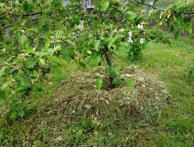 Мульчироване яблони скошенной травой