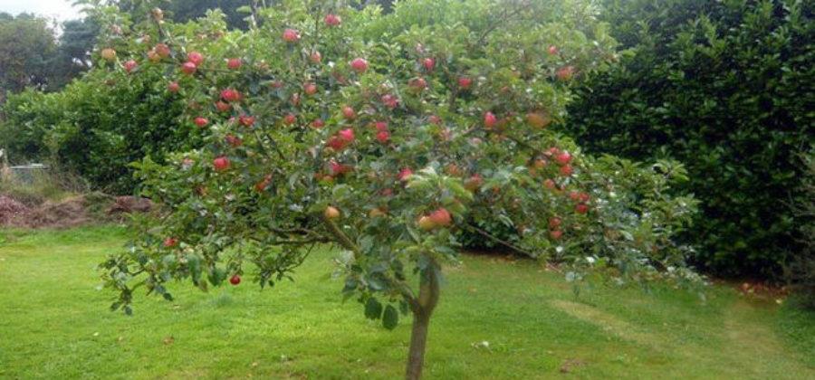 Сорт яблони Медуница: описание, опылители, способы размножения