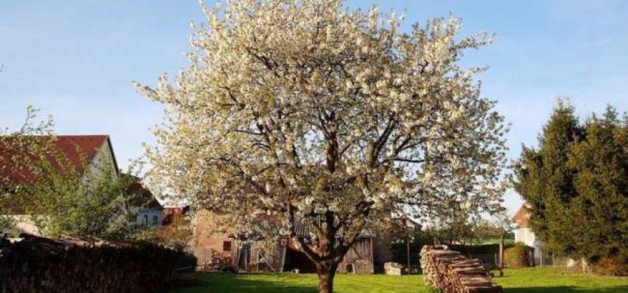 Описание яблони Северный синап – Фото, отзывы, правила выращивания сорта