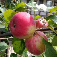 Яблоня Анис: описание, фото и разновидности сорта
