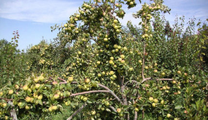 Яблоня Белый налив: сорт яблок с ранним урожаем
