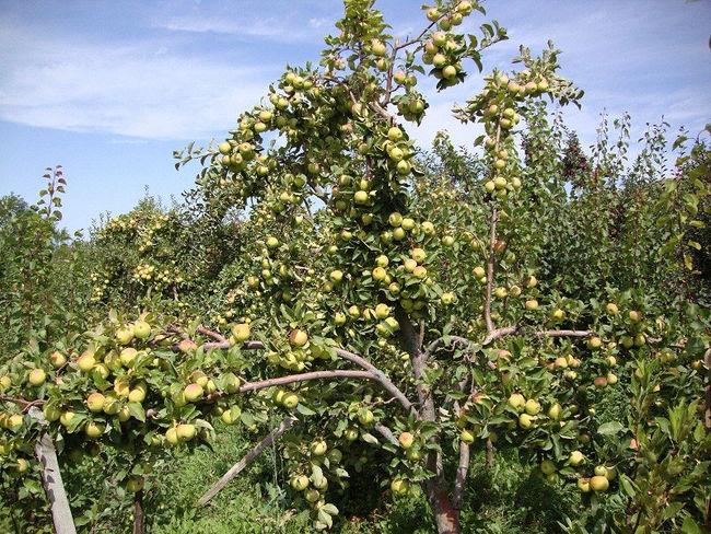 Яблоня белый налив 🍎 : характеристика, описание сорта, фото, посадка и уход 🌱 Все о посадке и выращивании