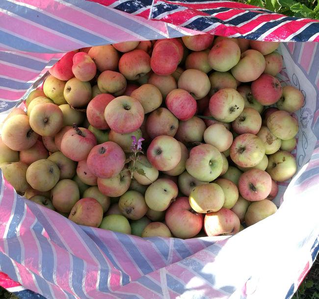 Сорт яблок Анис: собранный урожай