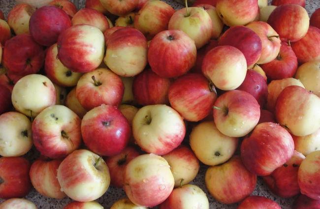 Урожай сорта яблони Мельба