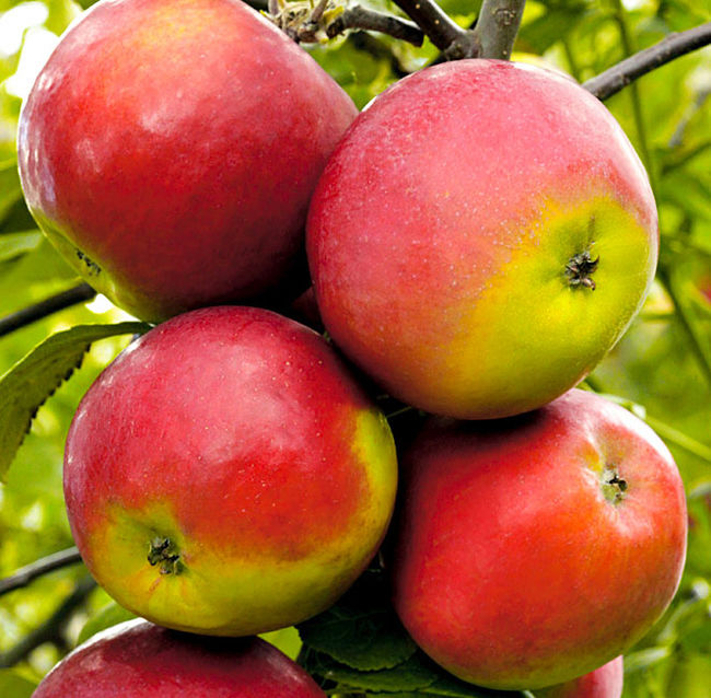 Сорт яблок Анис Свердловский