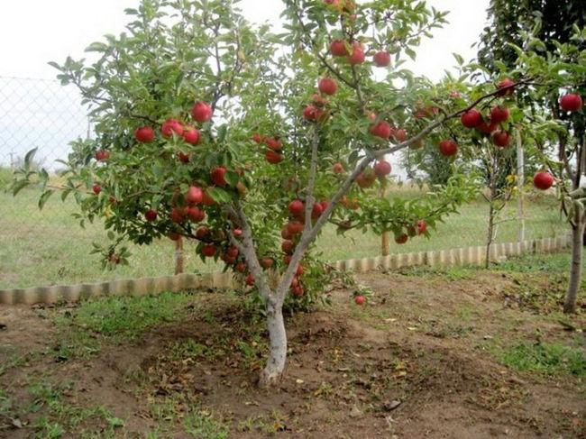 описание яблони сорта Анис