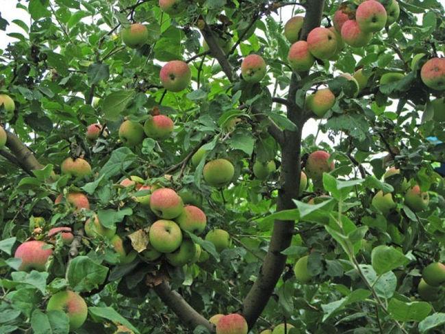 сорт яблони дочь мельбы