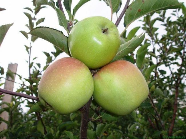 Характеристика плодов колоновидной яблони Президент