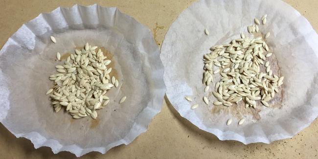 Как правильно высушить семена огурцов