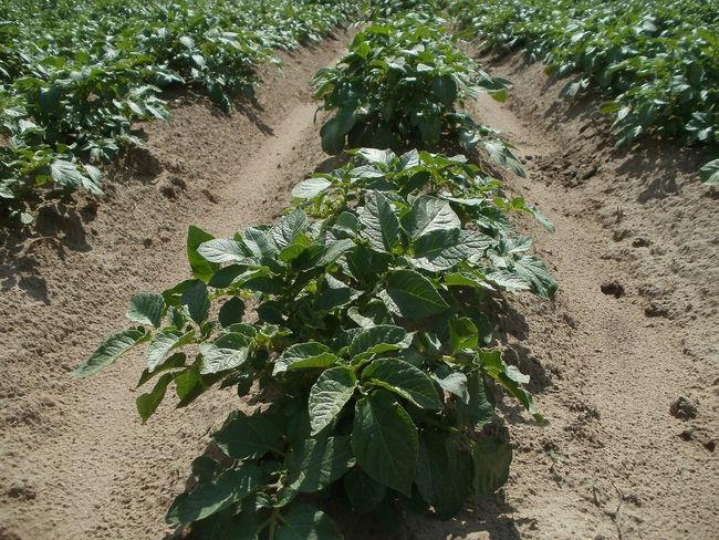 Какая почва подойдет для картофеля