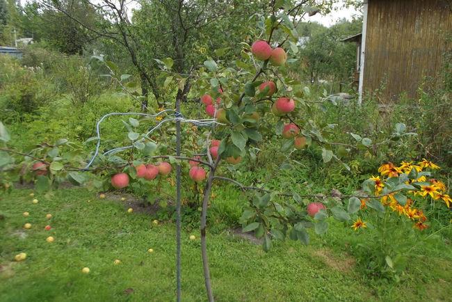 Карликовый подвой сорта яблок Конфетное