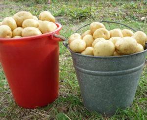 Как выращивать картофель Гала на своем участке