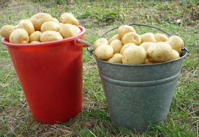 Сорт картофеля Гала. Картофель гала описание сорта фото