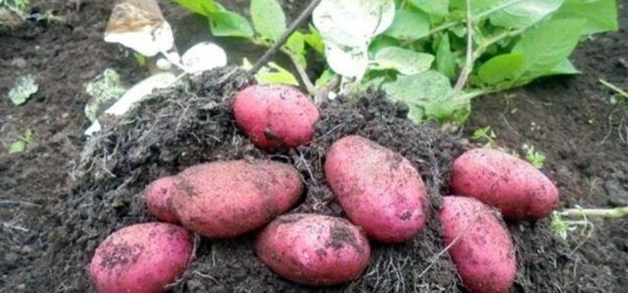 Ред Скарлет – сорт картофеля: описание, отзывы, достоинства сорта