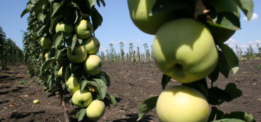 Колоновидная яблоня Президент: описание, фото, отзывы