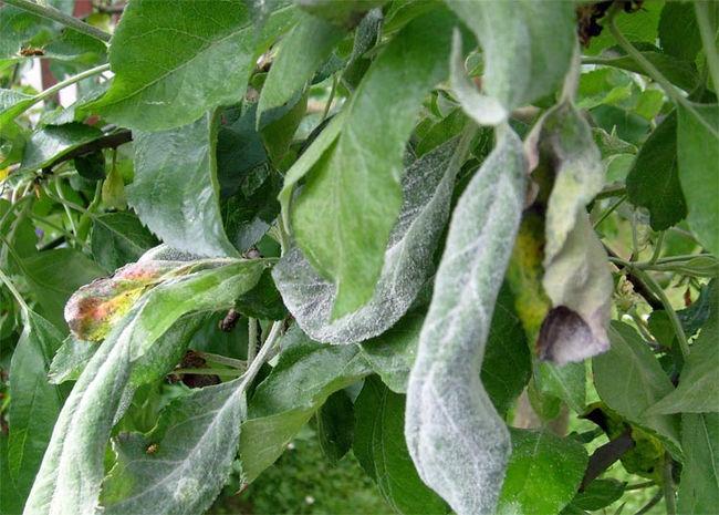 Мучнистая роса на листьях яблони