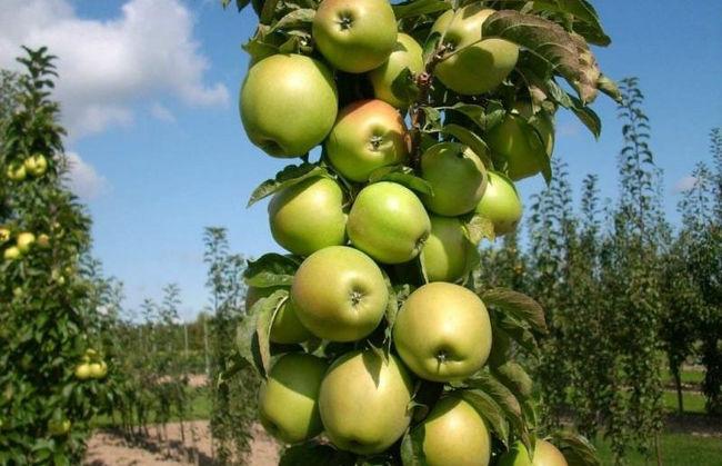 Описание яблони президент
