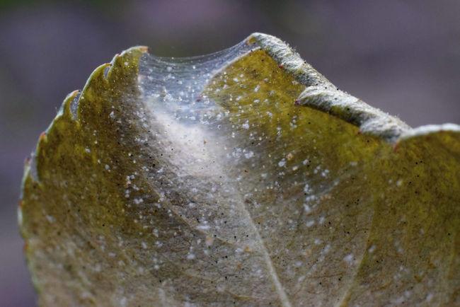 Паутиные клещи на листьях