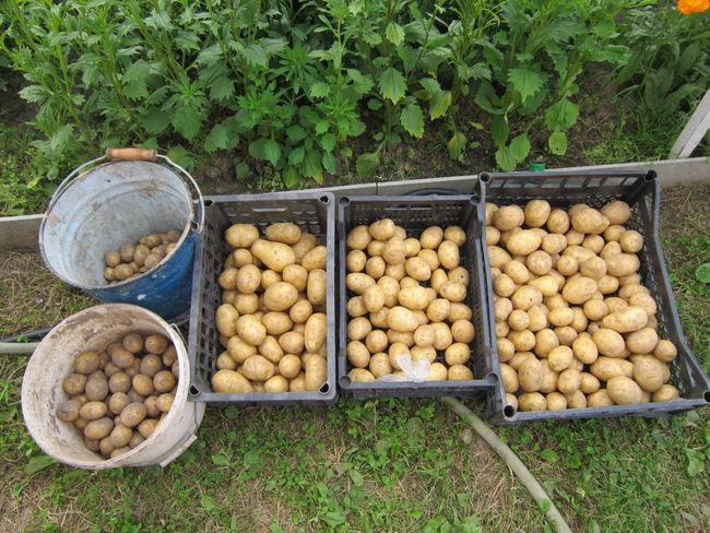 Правила хранения урожая картошки Гала