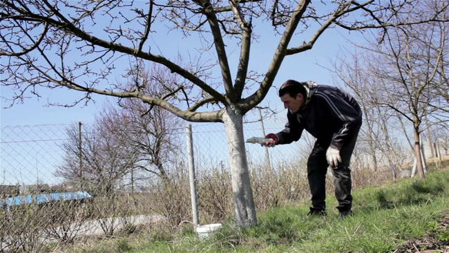 Правила ухода за яблоней белый налив