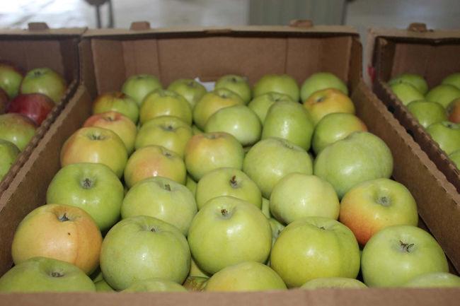 Сбор и хранения урожая яблок богатырь