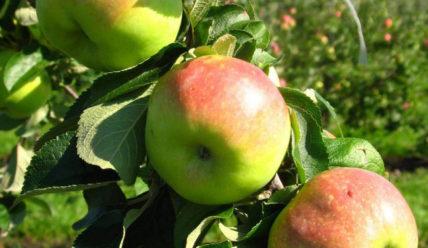 Сорт яблок Богатырь: описание, плюсы и минусы, отзывы садоводов о сорте