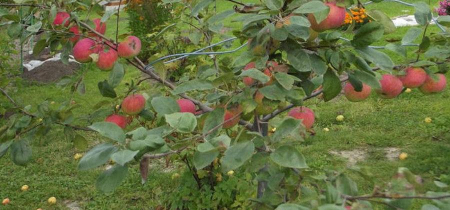 Описание сорта яблони Конфетное – Особенности посадки и ухода за сортом
