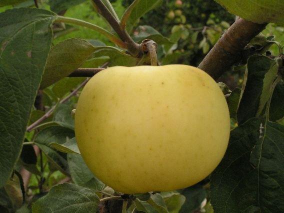 Сорт яблони Медовый налив