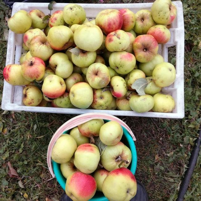 Урожай яблок Богатырь