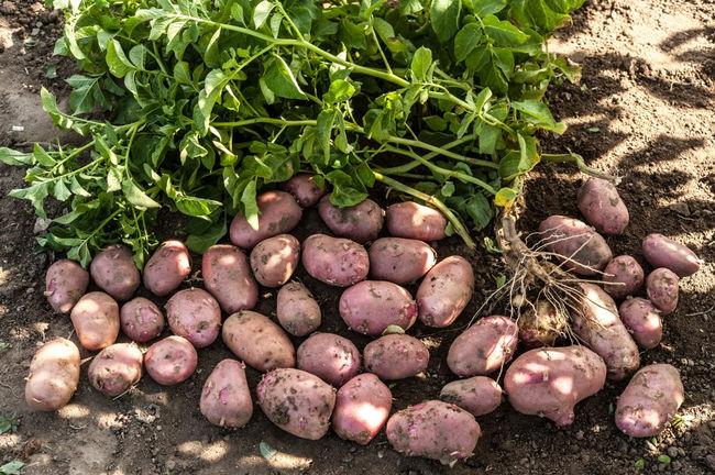Урожайность сорта картофеля Ред Скарлет