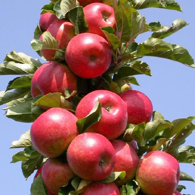 Урожайность яблони Московское ожерелье