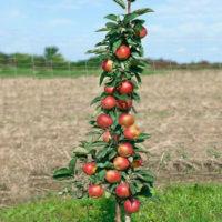 Описание сорта колоновидной яблони Московское ожерелье, отзывы садоводов