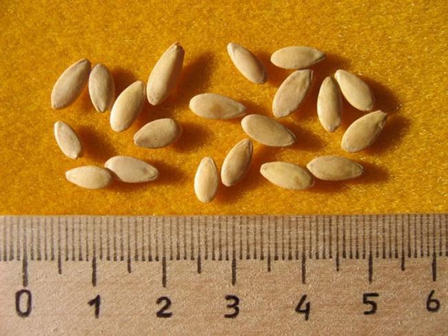как выглядят семена огурцов